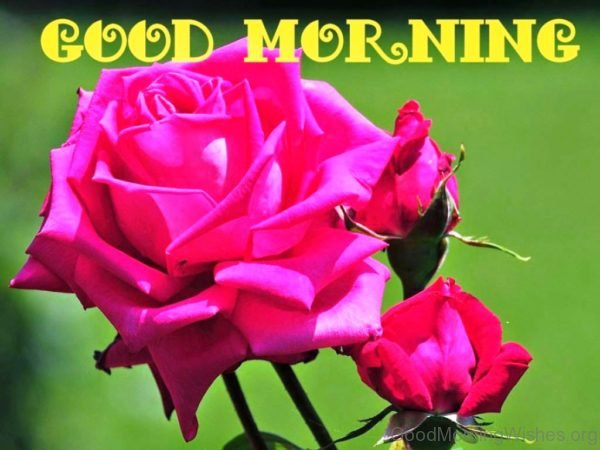 Beautiful Fresh Rose Good Morning