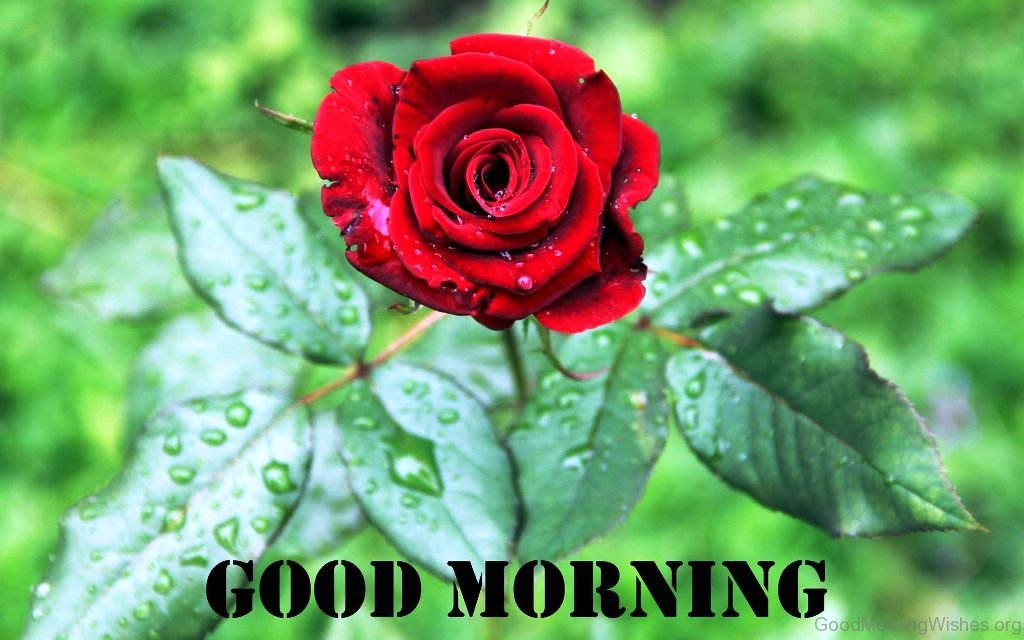 Good Morning Roses Download : Good morning wishes with rose