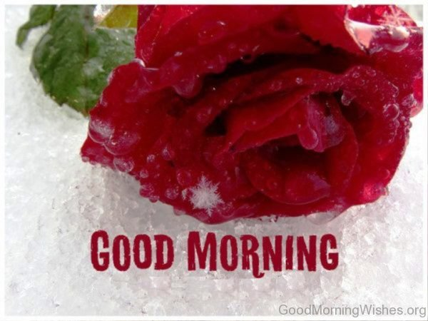 Good Morning Cool Rose