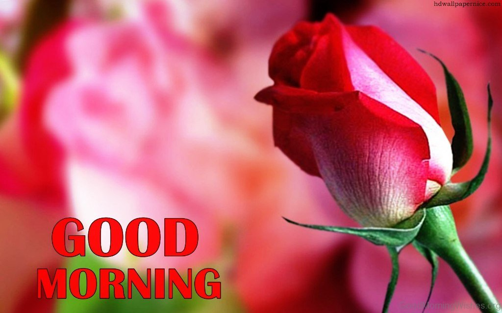 Good Morning Quotes With Roses : Good morning wishes with rose