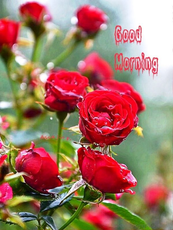 Good Morning With Amazing Red Rose