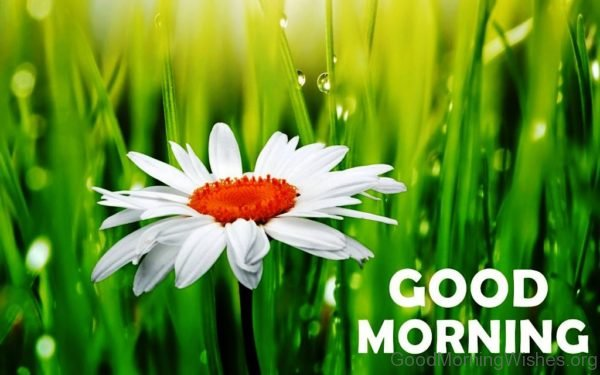 Good Morning With Daisy Flower