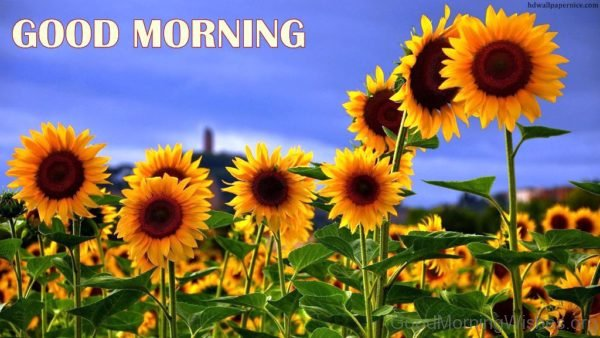 Amazing Good Morning Sunflowers Pic