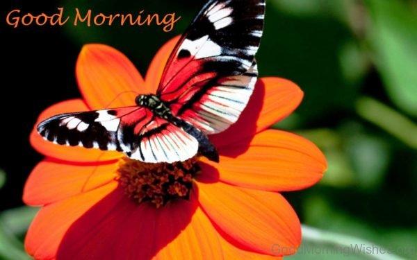 Good Morning Butterfly On Orange Flower