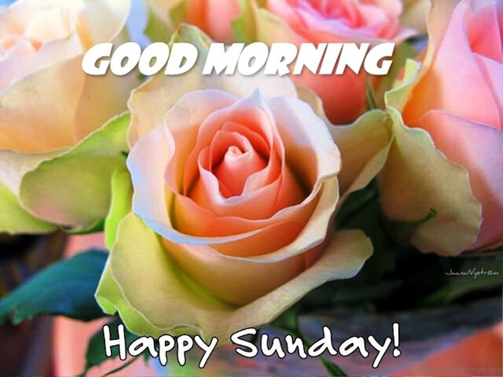 Good Morning Sunday Rose : Sunday good morning wishes