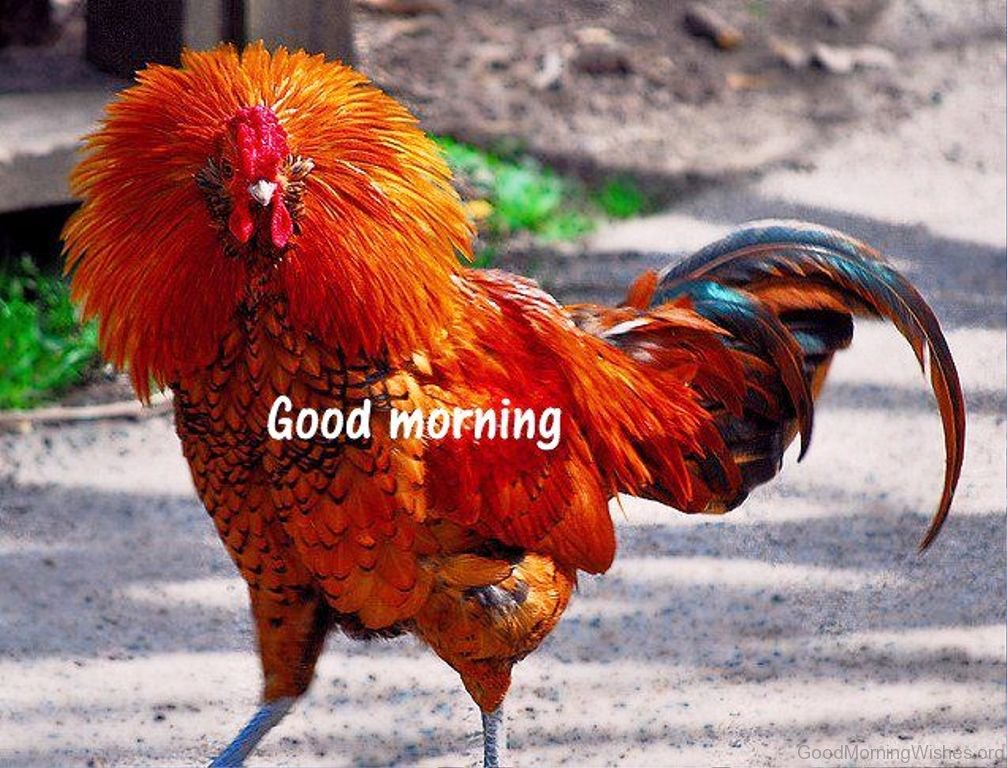 Good Morning Sunday Chicken : Good morning pictures rooster